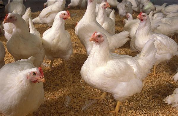 Бизнес идеи: выращивание кур