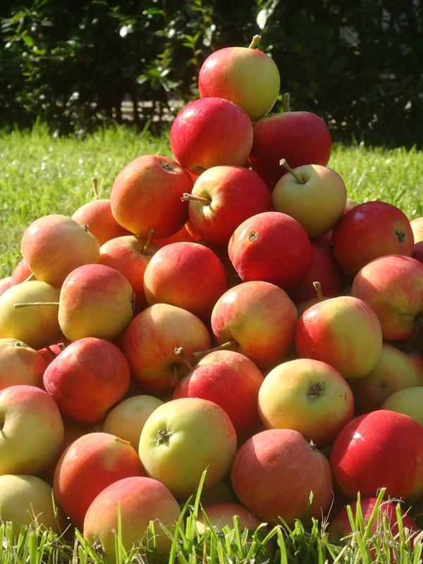 Яблочный бизнес