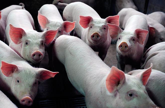 Бизнес-план свинофермы