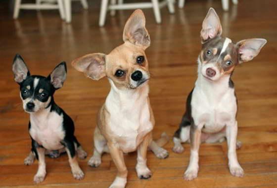 Карманные собаки как бизнес