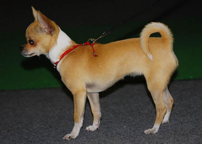 Карманные собаки как бизнес - Чихуахуа