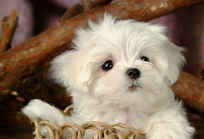 Карманные собаки как бизнес - Мальтезе (мальтийская болонка).