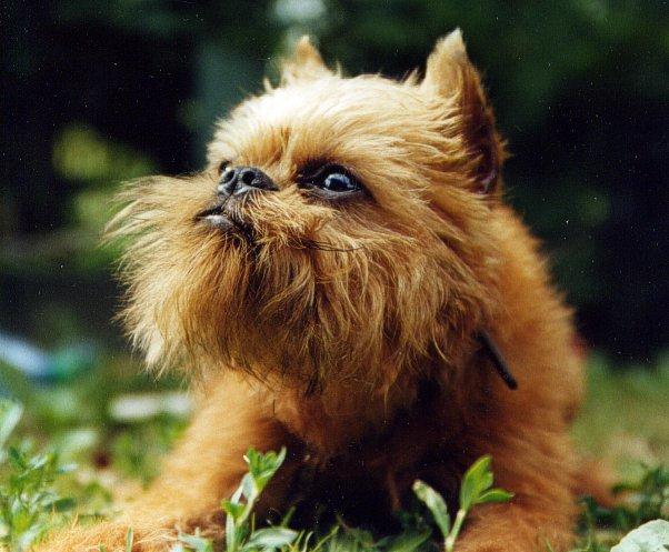 Карманные собаки как бизнес - Брюссельский гриффон