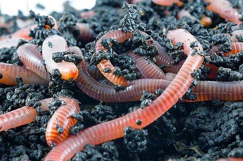 Разведение калифорнийских червей