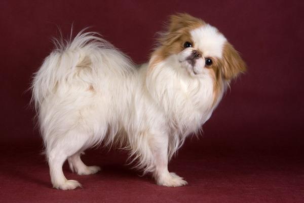 Карманные собаки как бизнес - Японский хин