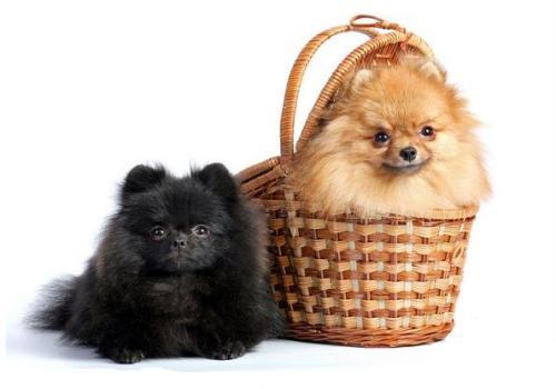 Карманные собаки как бизнес - Померанский шпиц