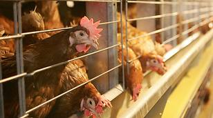 Бизнес-план птицефермы