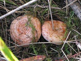 Волнушки: соление и приготовление грибов