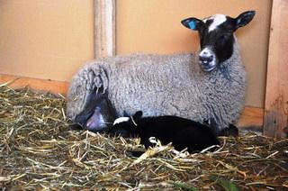 разведение романовской породы овец