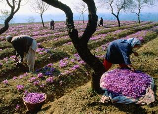 выращивание шафрана