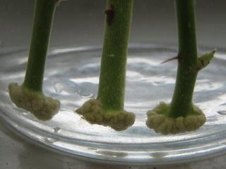 выращивание роз из черенков
