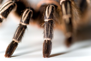 бизнес идея - разведение ядовитых пауков