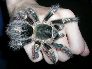 содержание и разведение ядовитых пауков