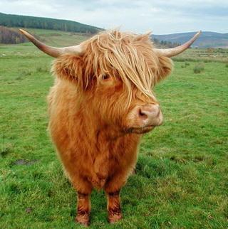 корова-мини Хайленд