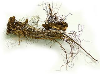 купить или продать Маралий корень