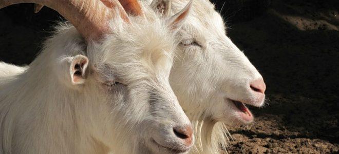 Бизнес идеи: Разведение коз (русские и зааненские козы)