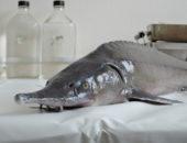 Разведение осетровых пород рыб в открытых садках