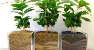 Выращивание и продажа кофейных деревьев