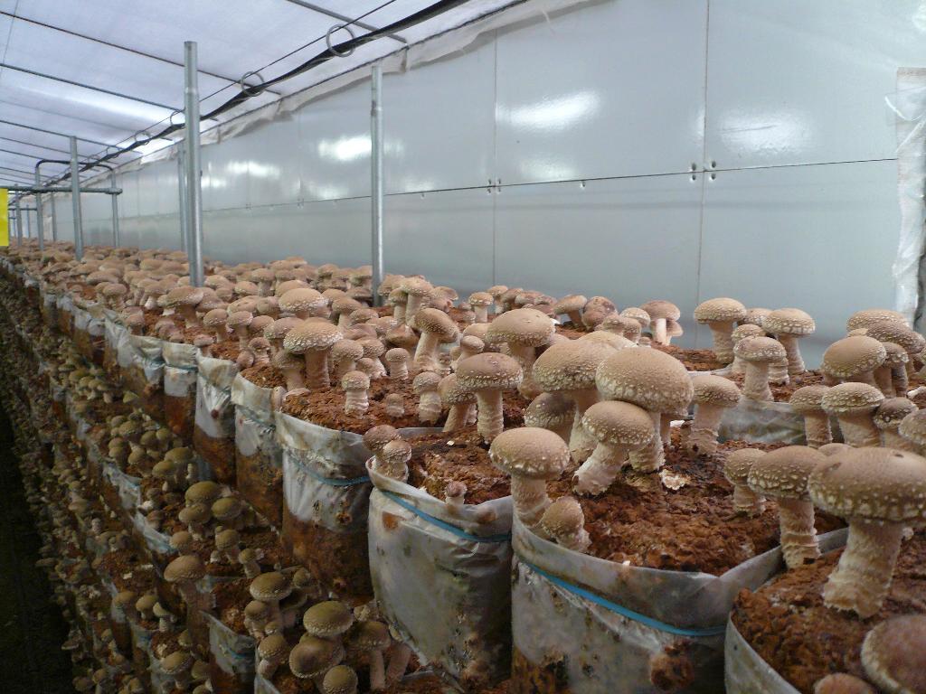 Технология выращивания шампиньонов в 68