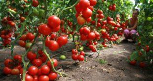 Выращивание помидоров в теплице и в открытом грунте