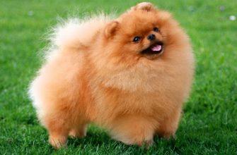 Карманные собаки как бизнес — Померанский шпиц