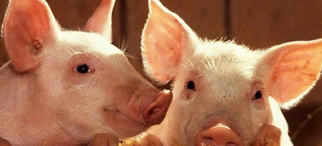 Открытие свинофермы бизнес план бизнес план картинной галереи