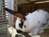 Шедовое содержание и разведение кроликов