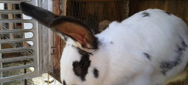 Убойный цех кроликов своими руками