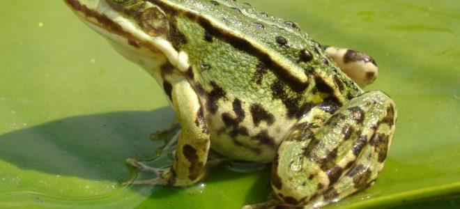 Разведение съедобных лягушек