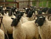 Разведение овец (романовской породы)