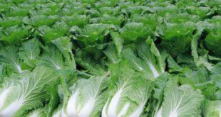 Пекинская капуста – выращивание и уход