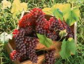 Календарь виноградаря