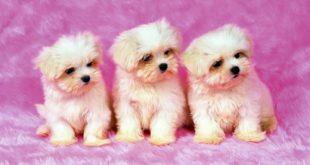 Карманные собаки как бизнес — Мальтезе (мальтийская болонка).
