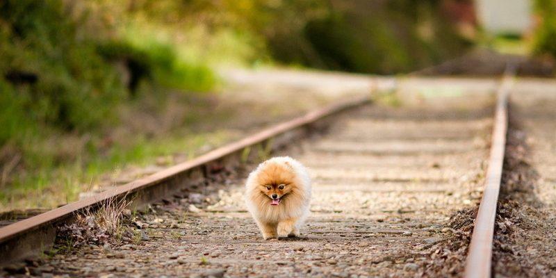 Карманные собаки как бизнес — Брюссельский гриффон
