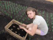 Технология выращивания картофеля