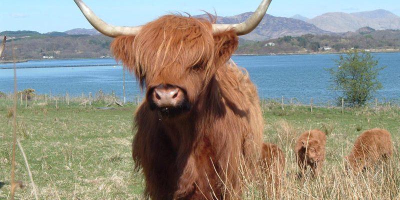 Мини-коровы Хайленд