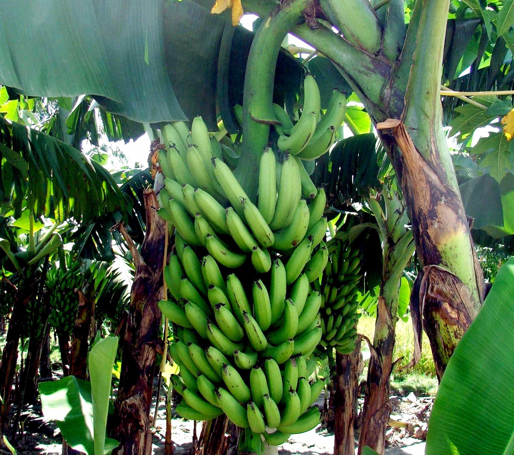 Как вырастить банан в домашних условиях. Самый банановый банан.