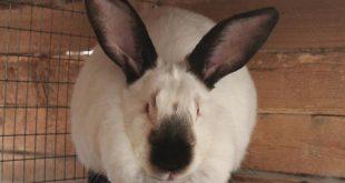 Кролик для разведения
