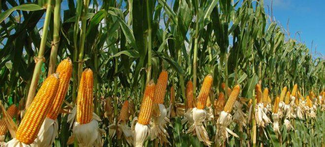 Российская соя и кукуруза будут поставляться в Индонезию