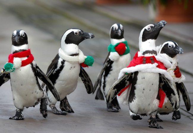 Пингвины на Новый год